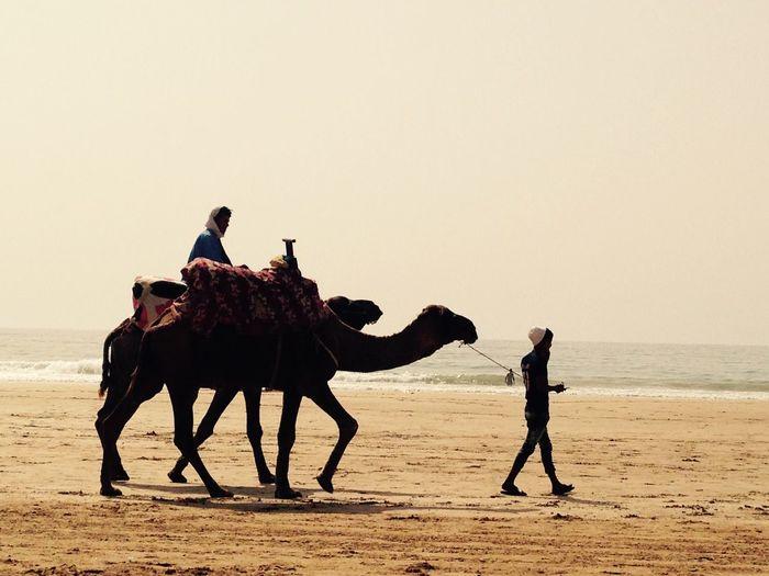 Marokko Morocco camel Kamel