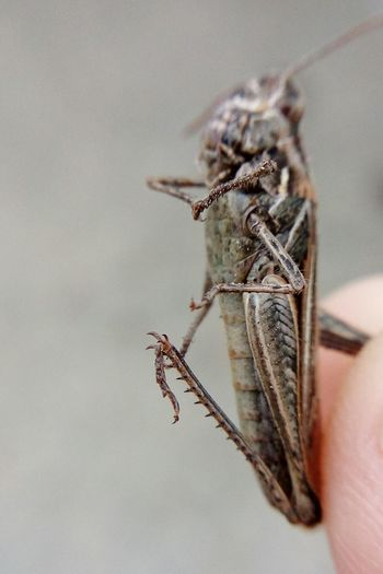 Grasshopper Grasshopper Leg One Animal Animals In The Wild Insect Close-up Zoology Small Macro Maximum Closeness Letv LeEco LeTv X600 Mobilephotography Macro Lens