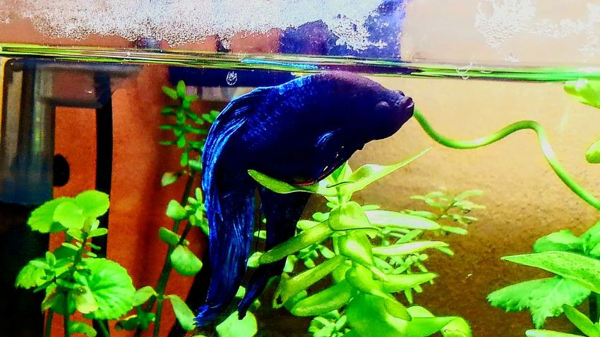 my lovely bettafish Betta Splendens Bettafishcommunity Betta Fish One Animal Animal Themes Animal Wildlife Animals In The Wild Green Color Underwater Water Plant No People Nature Aquarium Swimming