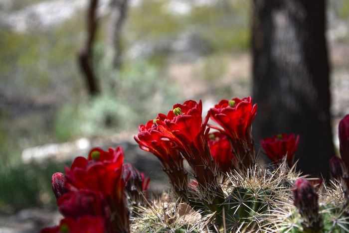 A Prickly Pretty Beauty In Nature Cactus Cactus Flower Close-up Flower Focus On Foreground Growth No People Outdoors Petal Red Selective Focus Red Flower Cactusflower Flowers Arizona Arid Climate Plant Picker Thorns Pretty Montezumas Castle Desert Desert Beauty Desert Life