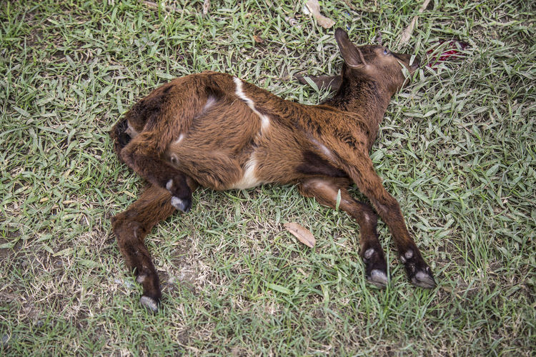 High Angle View Of Dead Lamb On Grassy Field
