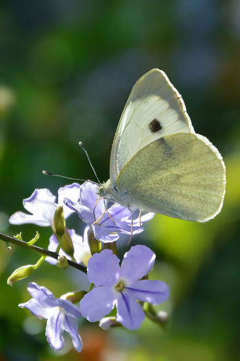 Butterfly ❤ Animal Animal Themes Animal Wildlife Animal Wing Animals In The Wild Beauty In Nature Butterfly - Insect Close-up Flower Flower Head Flowering Plant Fragility Freshness Insect One Animal Outdoors Petal Purple