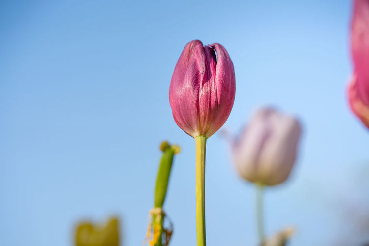 gorgeous colorful blooming tulip from fresh garden for delighted and attractive environment. Flower Flowering Plant Plant Freshness Beauty In Nature Fragility Vulnerability  Growth Close-up Nature Plant Stem Tulip Sky Bud Focus On Foreground Copy Space Blue Petal Flower Head Beginnings Outdoors Blue Background