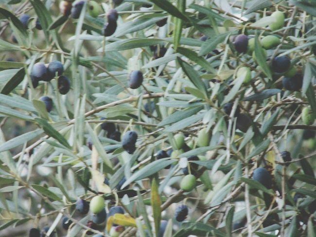 Olive Tree Black Olives Olives Leafs Olive Branch Green Olives Oliveira Eyem Gallery