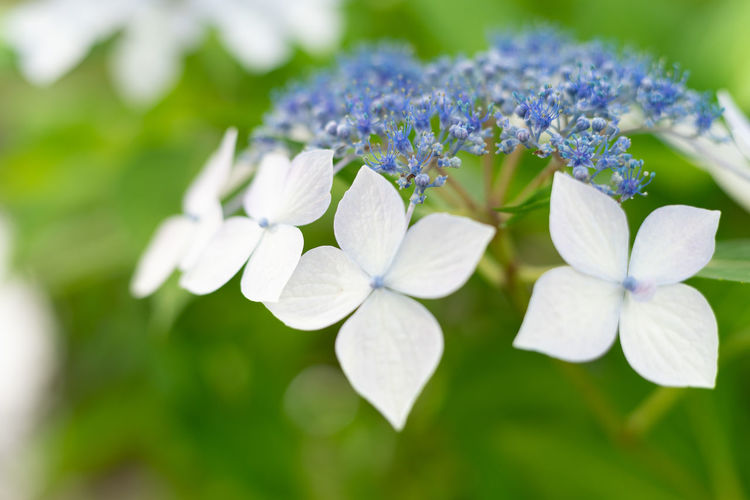 Beauty In Nature Botany Bunch Of Flowers Close-up Day Flower Flower Head Flowering Plant Fragility Freshness Growth Hydrangea Inflorescence Lilac Nature No People Outdoors Petal Plant Purple Selective Focus Vulnerability  White Color