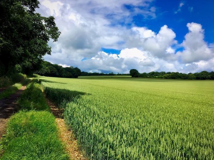 Summer in the Berkshire countryside Agriculture Beauty In Nature Cloud Cloud - Sky Cloudy Crop  Cultivated Land Day Field Grass Grassy Green Green Color Growth Horizon Over Land Idyllic Landscape Nature No People Plant Rural Scene Scenics Sky Tranquil Scene Tranquility