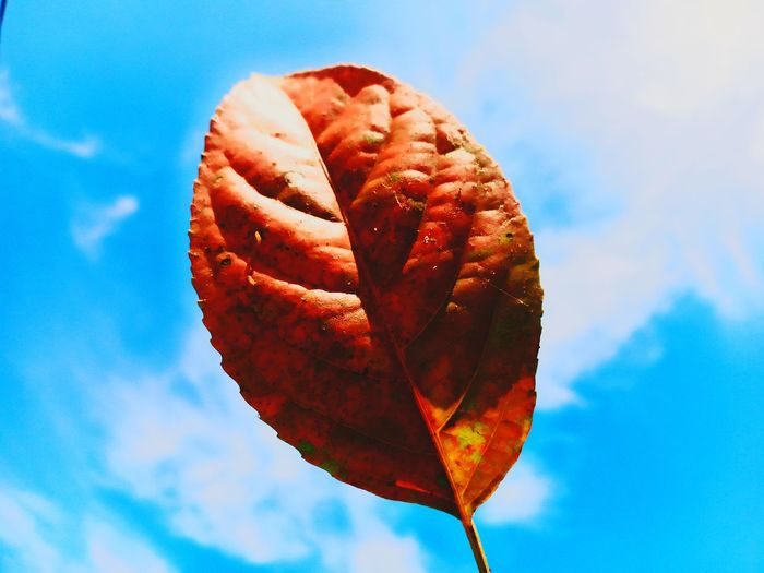 Low angle view of autumnal leaf against blue sky