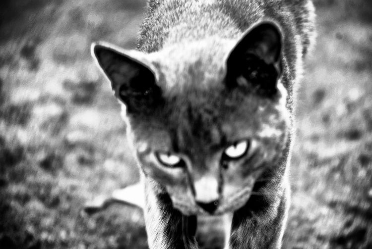 One Animal Animal Themes Close-up Day Pets Mammal No People Outdoors Cats Blackandwhite Photography