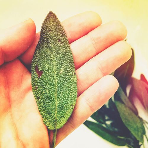 Fingers Heart Shape Whimsy Food Prep Flavor Cooking Spices Kitchen Leaf Herb Sage Human Hand Human Finger Human Body Part Close-up One Person Real People Holding Indoors  Palm Freshness Nature