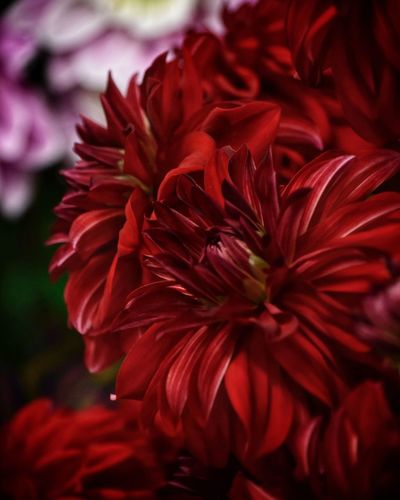 Dahlia Dahlia Flowers Dahlia Flower Background Backgrounds Close-up Petal Flower Plant Vulnerability  Red Freshness Fragility Flowering Plant Beauty In Nature Flower Head Inflorescence Growth Focus On Foreground Nature No People Day Outdoors Selective Focus Maroon