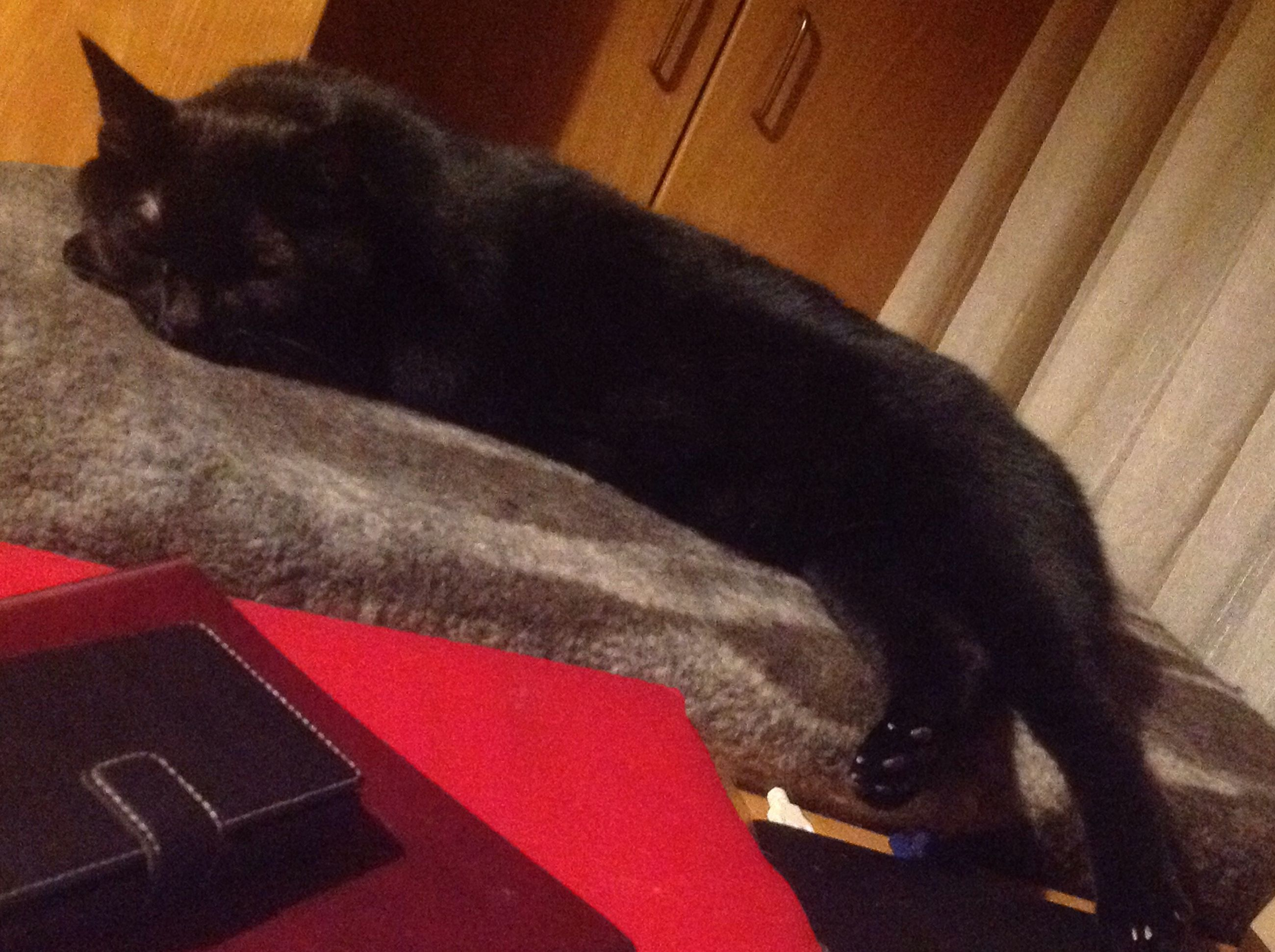 domestic animals, one animal, pets, animal themes, black color, indoors, close-up, mammal, relaxation, resting, domestic cat, feline, zoology, animal head, animal, comfortable, cat, at home, lying down, laziness, no people, loyalty
