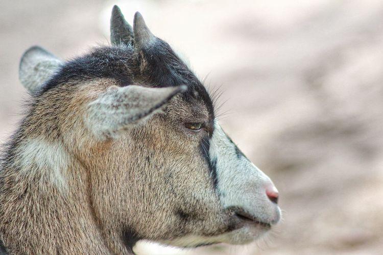 Side view of giraffe