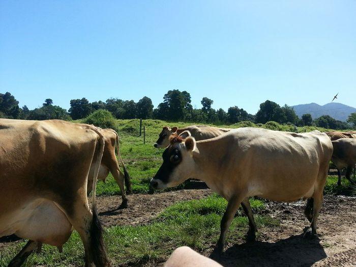 Jersey Milk Cows Beautiful ♥ From My Doorstep Trees In Bakground