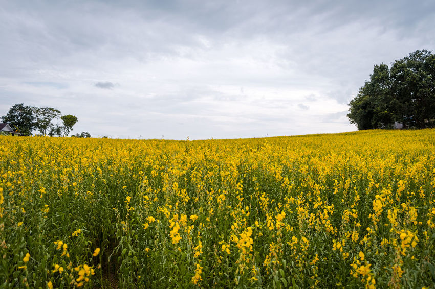 Agriculture Beauty In Nature Cloud - Sky Crop  Crotalaria Juncea Environment Field Flower Flowerbed Flowering Plant Growth Land Landscape Nature No People Oilseed Rape Outdoors Plant Rural Scene Scenics - Nature Sky Springtime Sunn Hemp Tranquil Scene Tranquility Yellow