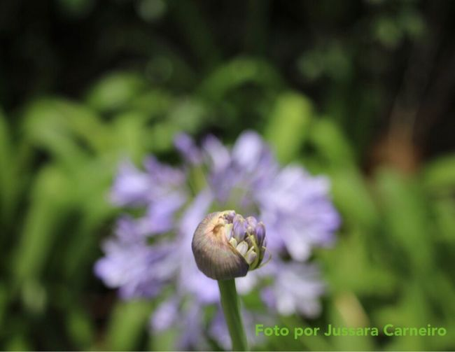 Agapanthus Agapanto Flower Nature Growth Close-up Focus On Foreground Canon 70d 55-250mm