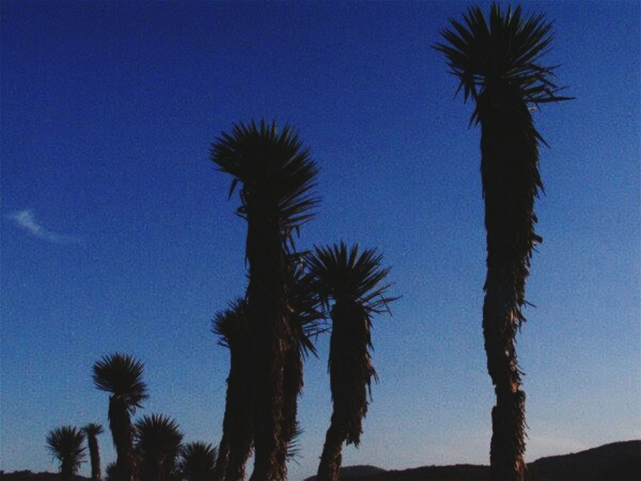 palm tree, low angle view, beauty in nature, nature, growth, no people, tree, blue, silhouette, scenics, tranquility, tree trunk, sky, outdoors, saguaro cactus, clear sky, day