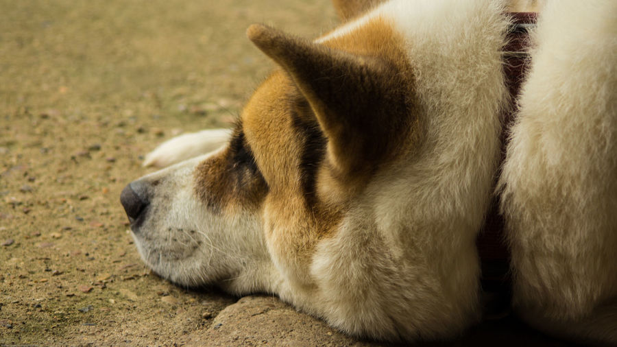 Close-up of akita relaxing on field