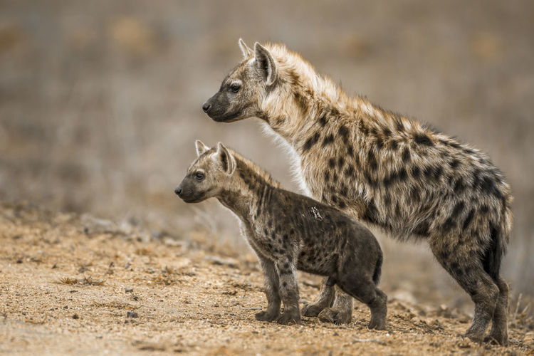 Close-up of hyenas looking away while standing on land
