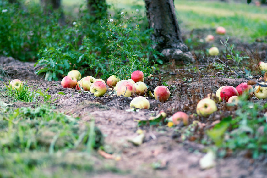 Apple Crop Autumn Mood Fruit Food Food And Drink Healthy Eating Freshness Day Wellbeing Selective Focus Plant Land Nature Vegetable No People Field Growth Agriculture Outdoors Close-up Tree Grass Surface Level