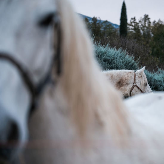 Animals In The Wild Horses White Horse White Horses Animal Animal Themes Animals Animals In Captivity Cold Temperature Day Domestic Animals Field Horse Mew Nature No People One Animal Outdoors Pets Sky Tree Vegetation White Winter