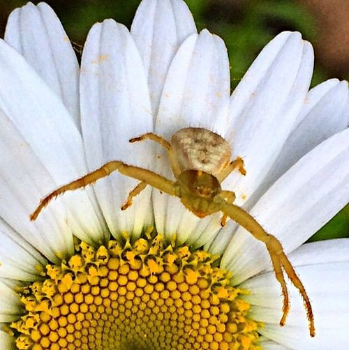 Daisy Insects  Spider Spiders Entemology Flower Insect Photography Macro Insects Macro Photography Flowers And Insects Photooftheday