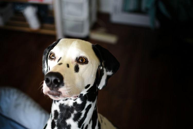 Close-Up Of Dalmatian Dog At Home