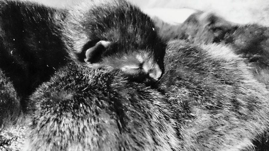 Fluffy Kittens..... awwwww. only a few days old 😘 Kitten Kittenoftheday Kittens Awesome_nature_shots Pet Photography  Cute Cute Pets Fluffy Furry Furry Friends Tiny Cuddly Cat Lovers Cat Cats Feline Check This Out Relaxing Black And White Photography Blackandwhite Pussycat Meow Purrfect Fur Eyes Closed