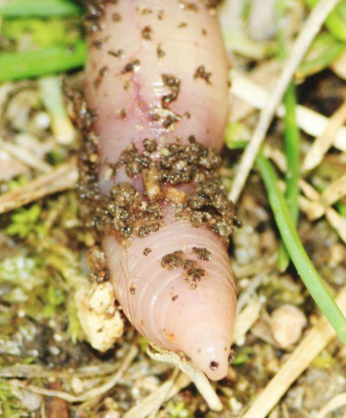 Lombrico. Earthworm in my garden Lombrico lombrichi Earthworms Vermi Earthworm Earthworm Eyeem Sardinia Sardegna Italy  Eyeem Earth Collection