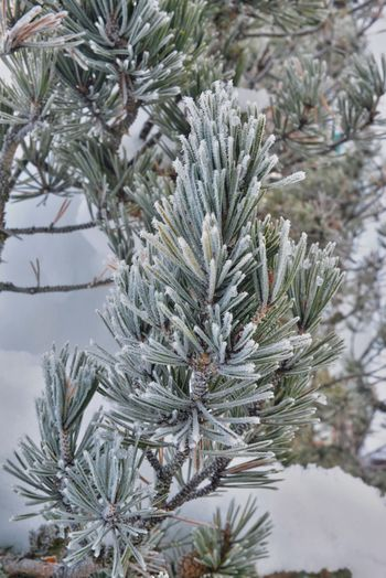 Beauty In Nature Branch Close-up Cold Temperature Coniferous Tree Day Fir Tree Focus On Foreground Frozen Green Color Growth Nature Needle - Plant Part No People Outdoors Pine Tree Plant Snow Tranquility Tree Winter