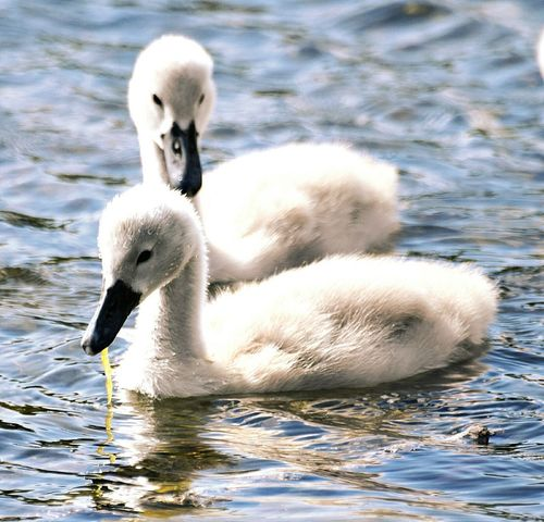 Cygnets Swimming Lake Swan Lake Taking Photos Feathers Elegant Young Family Nature Nature_collection Picoftheday Nature Photography Wildlife & Nature Wildlifephotography Feather_perfection Himley Himley Hall Magestic Bird Swan Naturelovers