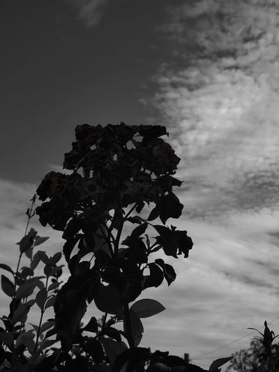 Low Angle View Silhouette Dark Nature EyeEm Gallery Blackandwhite Black And White Beauty In Nature Outdoors Nature Black And White Collection  Low Angle View Silhouette Leaf Sky Tree Growth Tranquility Branch Scenics Tranquil Scene Close-up Cloud - Sky Nature Beauty In Nature