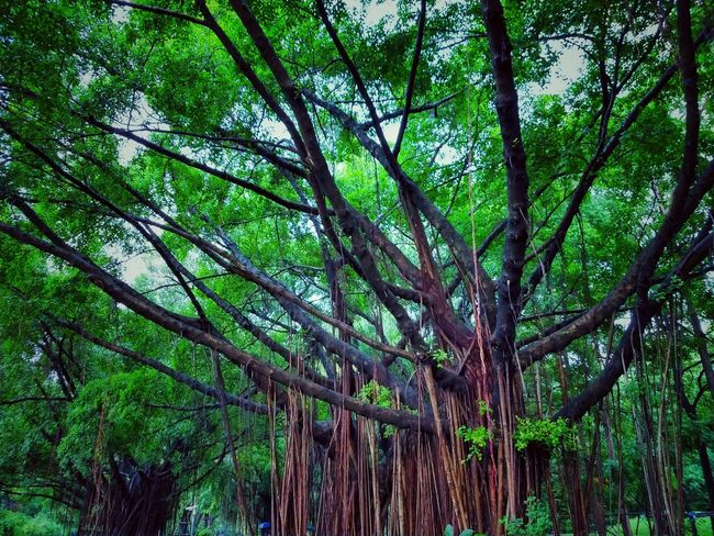 Tree Photography Tree View Low Angle View Banyan Banyan Tree Banyan Root Banyan Tree Roots Banyan Tree Trunk Beautiful Nature Beauty Of Nature Beauty Of Tree Tree In The Park The Park Big Truck Big Tree Nature Photography Tree In Nature Tree Tree Trunk Tree Area Green Color