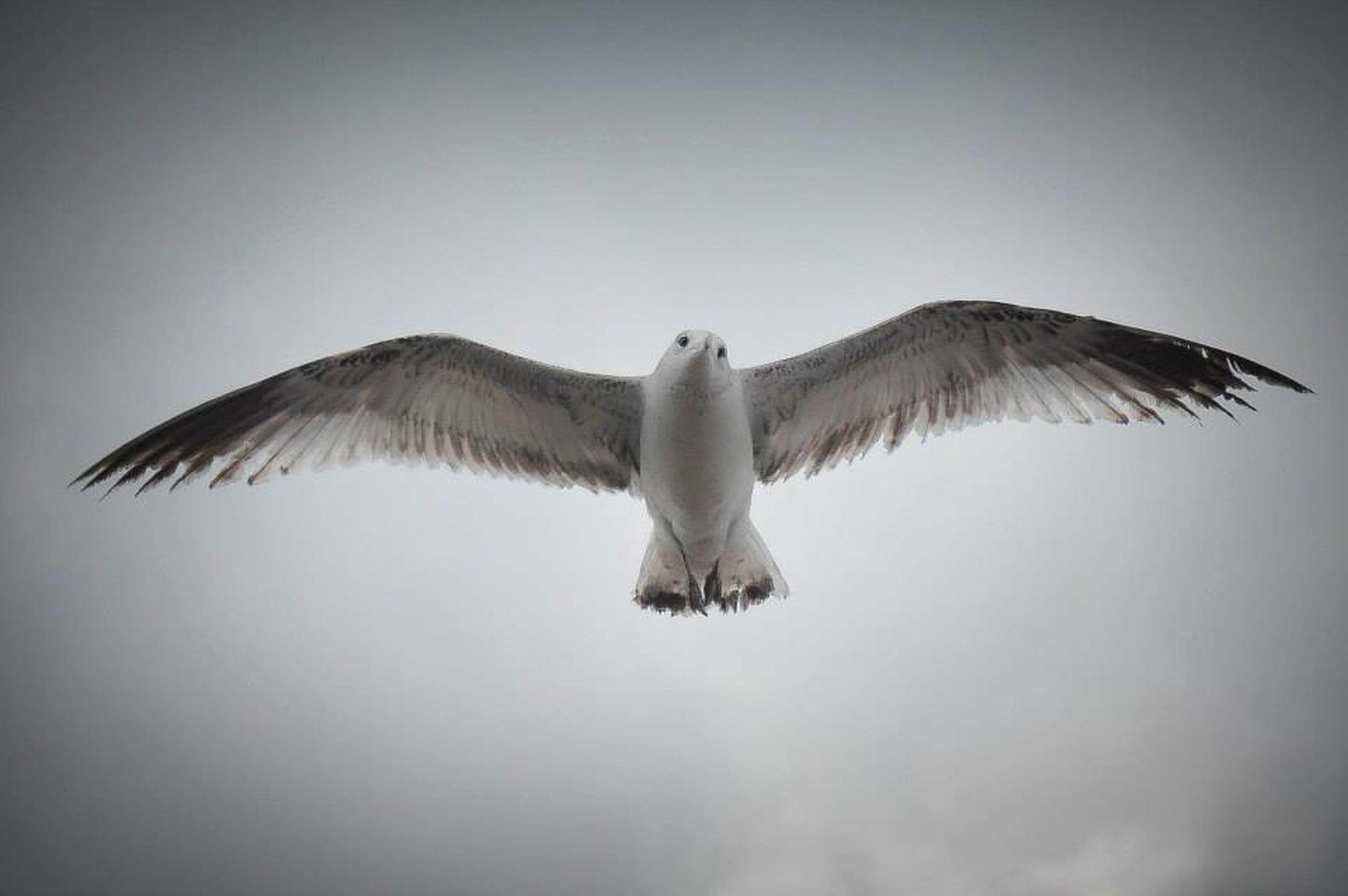 bird, clear sky, one animal, low angle view, copy space, animal themes, spread wings, seagull, wildlife, animals in the wild, flying, full length, nature, white color, sky, day, no people, outdoors, auto post production filter, side view