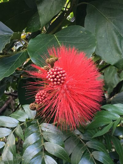 The Beautiful Red Blossom of the Ohia Trees Ohia Blossom Ohia Lehua Redandgreen Colors of the Season  Delicate Flower Cheerful Nature Fragility Freshness Beauty In Nature No People NoEditNoFilter Outdoors Close-up Puna Big Island Hawaii Christmas Is Coming