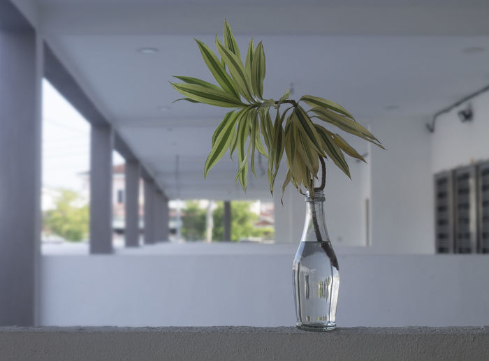 Dracaena in bottle Focus On Foreground Plant Vase Nature Glass - Material No People Architecture Indoors  Table Day Transparent Freshness Container Window Close-up Growth Houseplant Dracaena Bottle Asparagaceae Shrub Docoration Pillar Branches And Leaves Plant