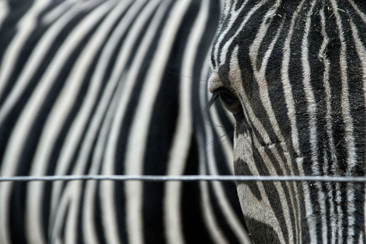 Animal Body Part Animal Head  Animal Themes Animals Animals In Captivity Close-up Mammal No People One Animal Part Of Pattern Striped Zebra Zoo Zoo Zoo Animals  Zoology Nature's Diversities