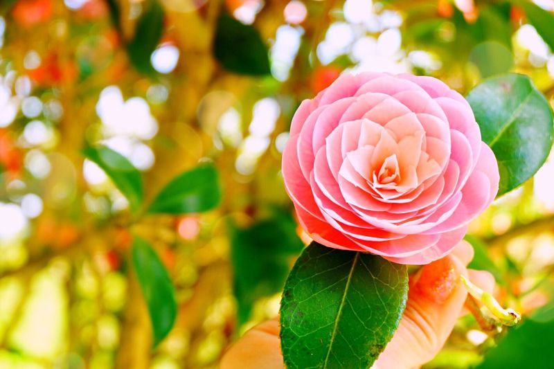 Flower Focus On Foreground Nature Leaf Beauty In Nature Petal Plant Outdoors Freshness Blooming Japan Yamaga