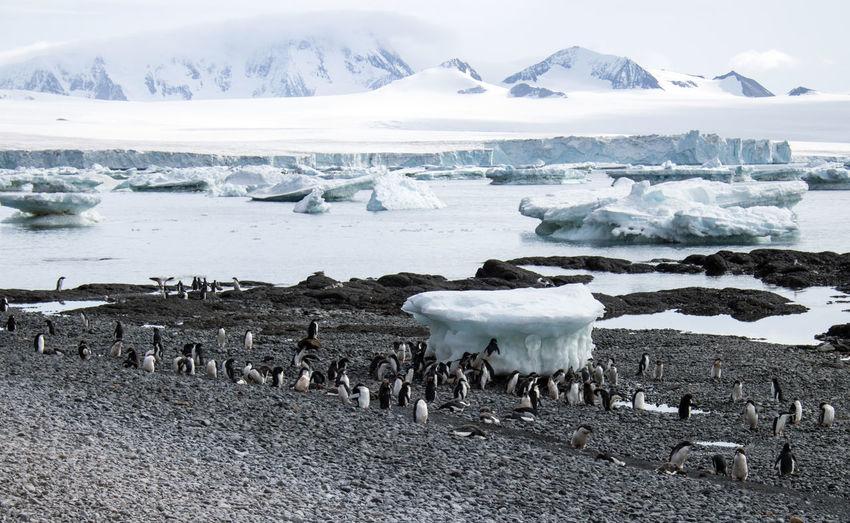 Gentoo penguins in antarctica