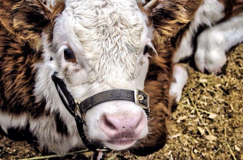 Close-up of calf