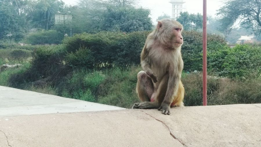 Monkey in the red fort India Monkey Animal Themes Animal Wildlife Primate India_gram Agra Fort Agra - India Red Fort Agra UP India Travel Diaries Animal Photography Grey Monkey Travel