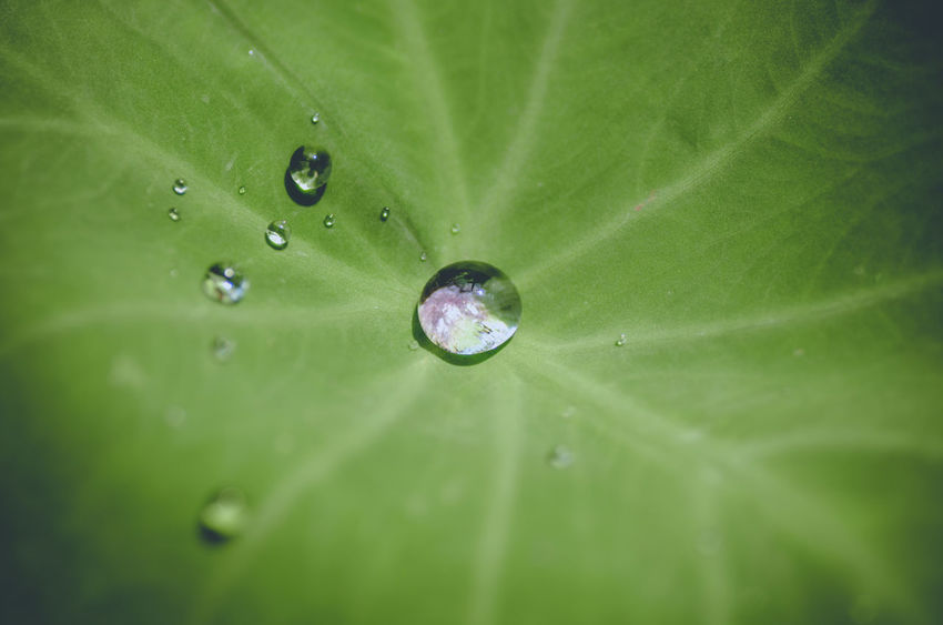 Leaf Plant Part Drop Green Color Freshness Close-up Wet Nature Full Frame Water Plant Beauty In Nature Backgrounds No People Leaf Vein Purity Extreme Close-up Macro Outdoors Rain Dew RainDrop Lotus Water Lily Leaves Concentric
