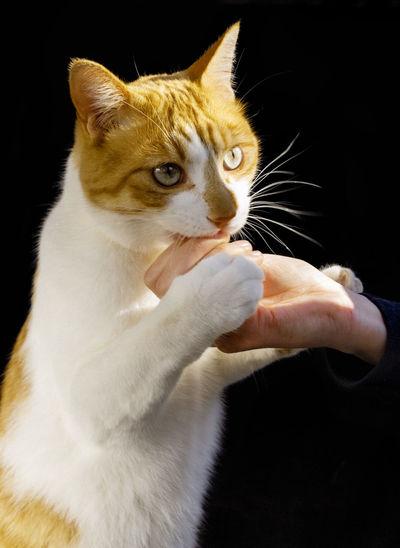 Cat holding hand against black background