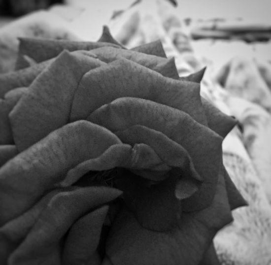 Monochrome Photography rose