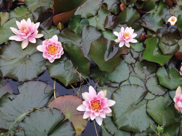 Waterlily Nature Nature Photography Beauty In Nature Water Flowers Water_collection Nymphéas