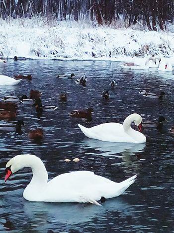 Лебеди в ледяном озере First Eyeem Photo Discovering Great Works Fantastic Exhibition Relaxing Hello World Great Performance
