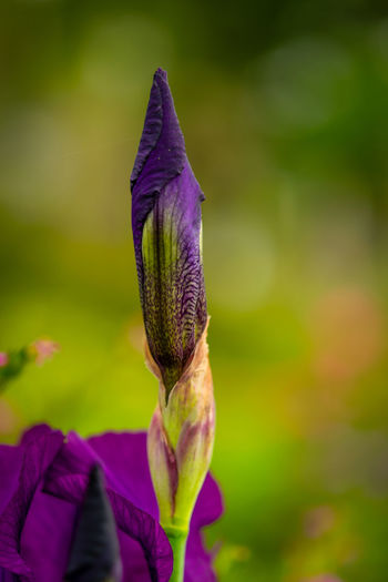 Close-up of purple iris flower on field