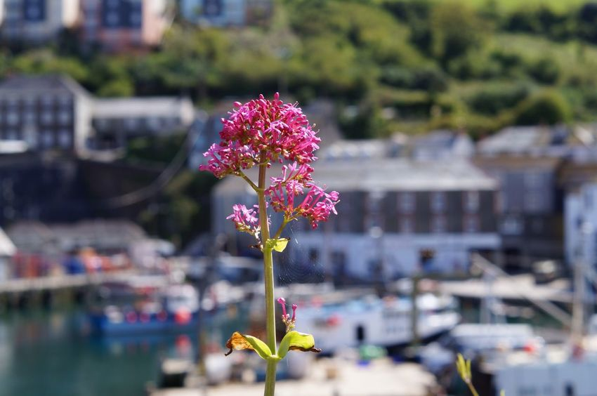 Flower Freshness Fragility Focus On Foreground Growth Pink Color Beauty In Nature Close-up Nature Petal Flower Head Springtime Blossom Day In Bloom Blooming Outdoors Mevagissey Cornwall Harbour Harbor View