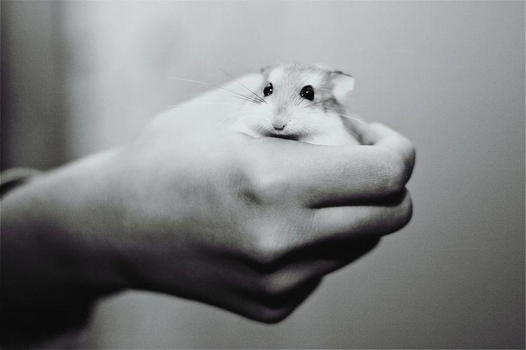 Hamster Comfy  Stuck Cute Pets