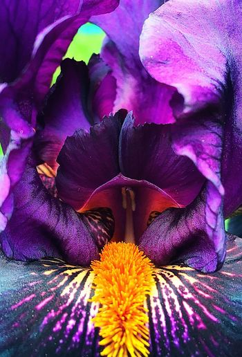 Iris is the flower of wisdom Beautiful Nature Iris Soft Purple Keep Earth Pure Pleasant Flowers Wisdom Calm