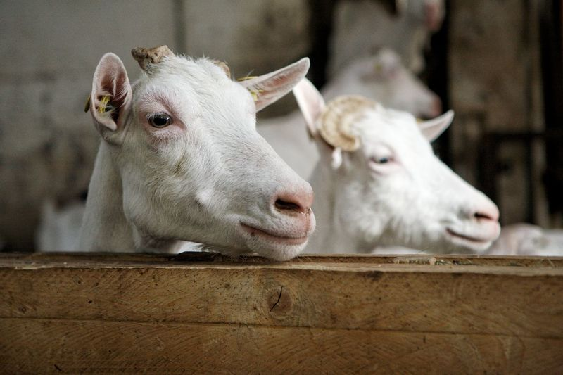 Close-up of a white goats.